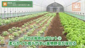 ハウス野菜の特徴