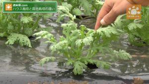 温室の軟らかい野菜