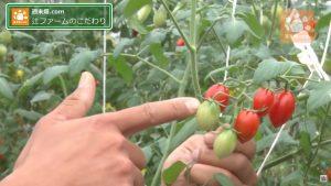 収穫するトマトの見極め