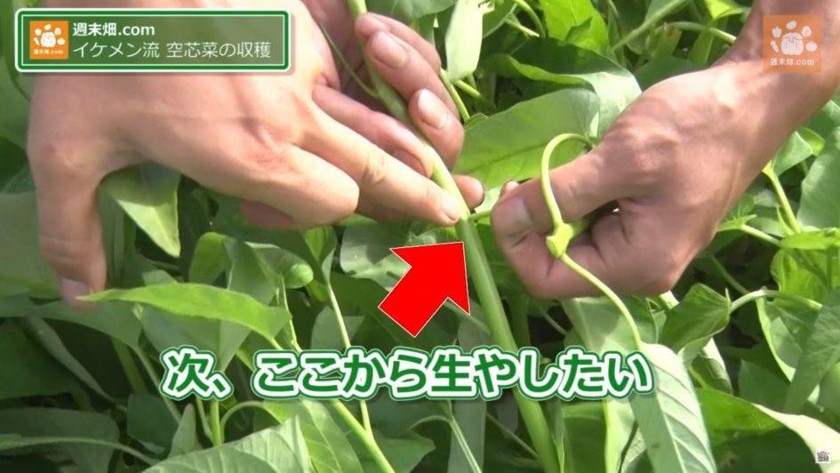 空芯菜を収穫