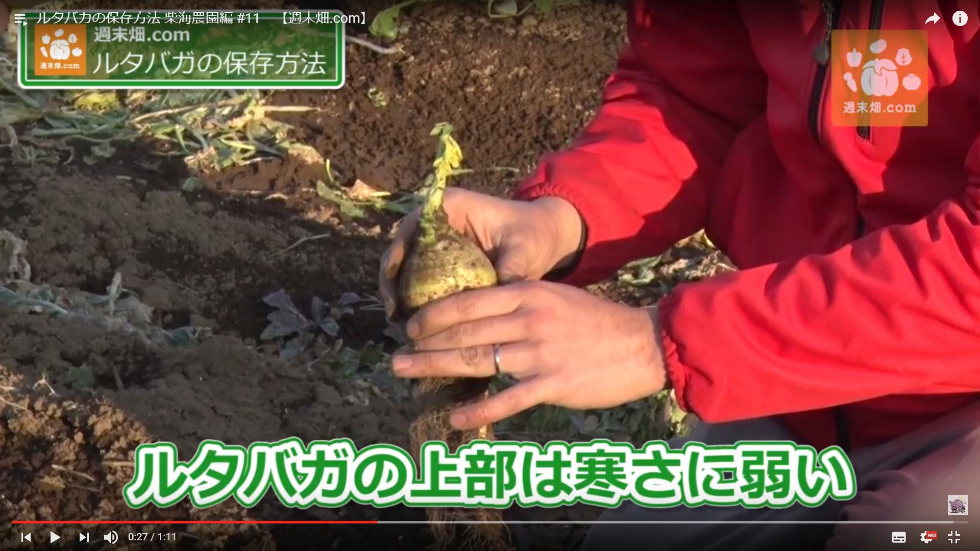収穫時半分以上土から出ているため寒さに弱い