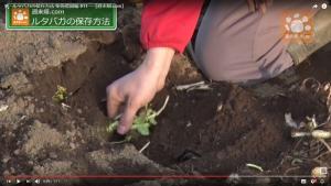 埋めることで良い状態で収穫できる