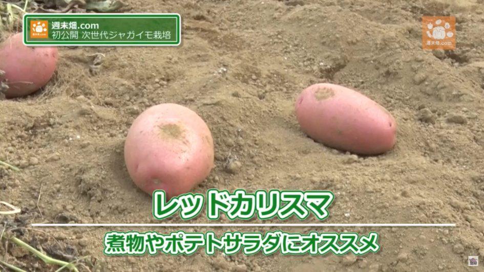 調理法に特化したジャガイモ