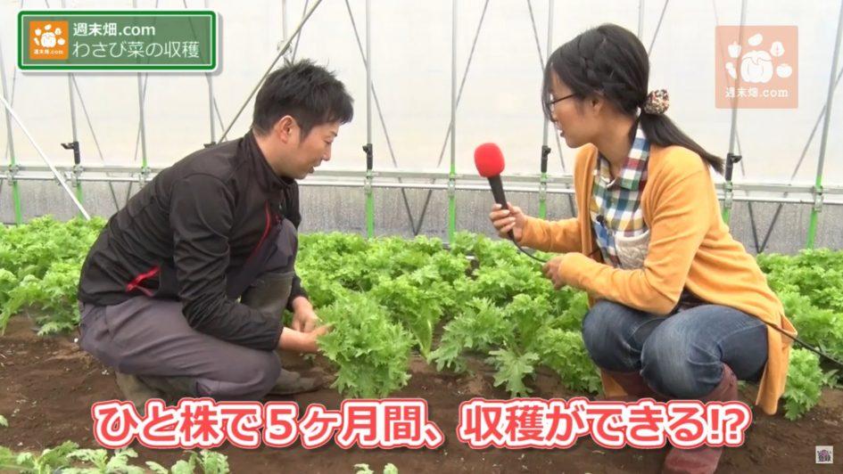 5ヶ月間収穫できるわさび菜