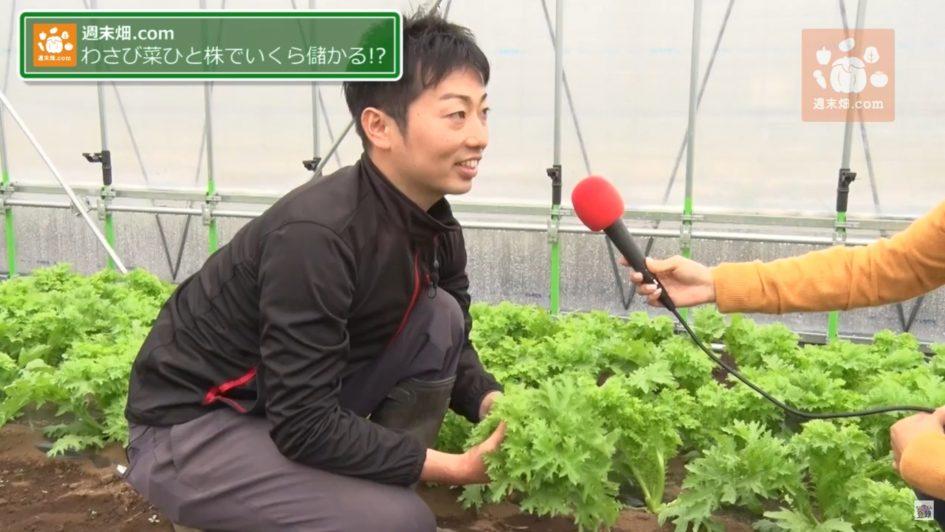わさび菜を収穫
