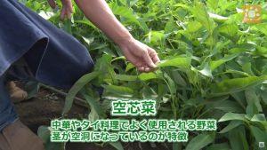 7月から採っている空芯菜