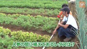 人参の間に植えたレタス